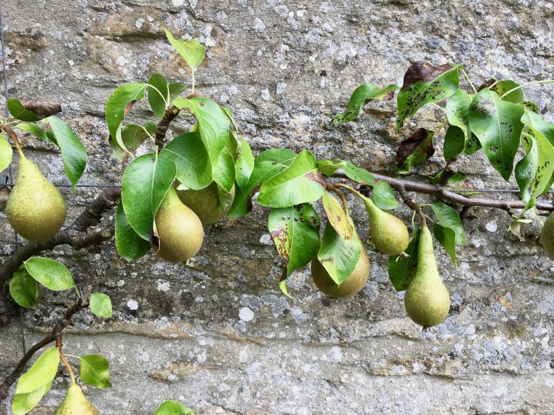 Pears growing at Thyme hotel